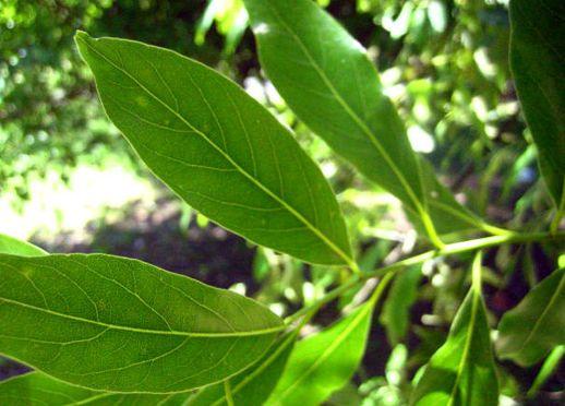 Laureles ( Ocotea acutifolia, O puberula, Nectandra megapotamica )